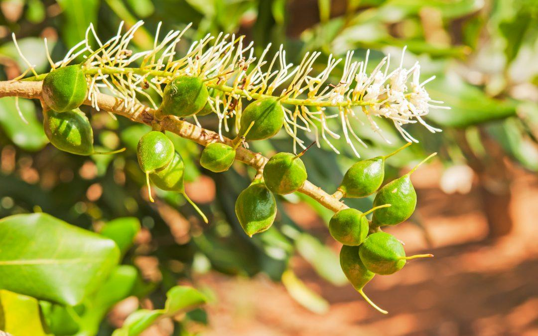Madumbi's sustainable solutions for Macadamias