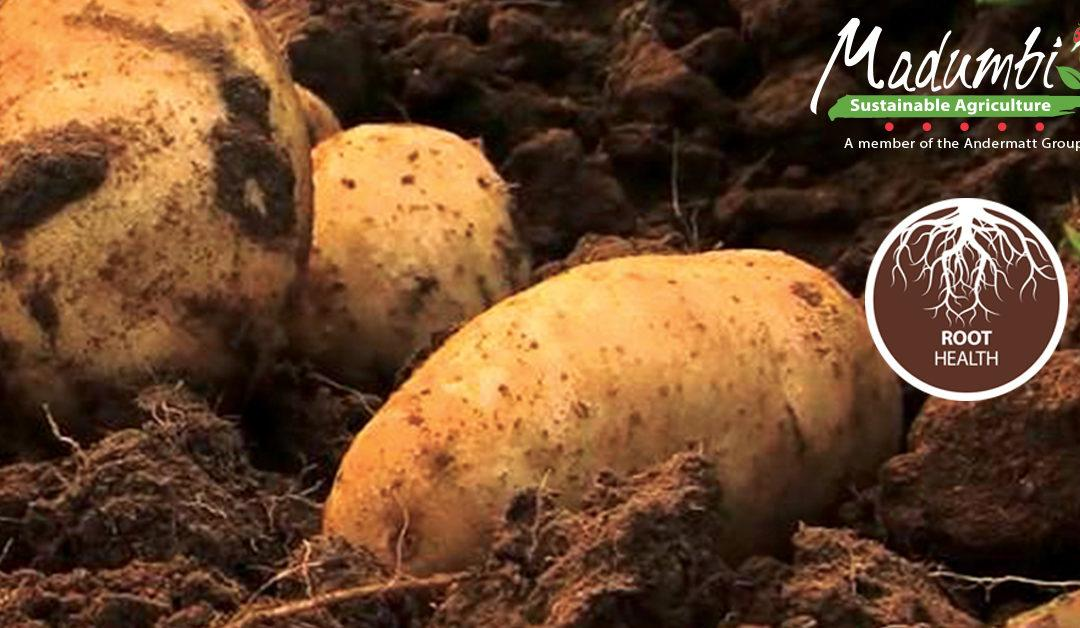 Madumbi's Root Health Program on Potatoes