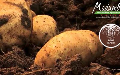 Madumbi's Root Health Program on Potatoes