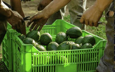 Madumbi's biological solutions for FCM on Avocados