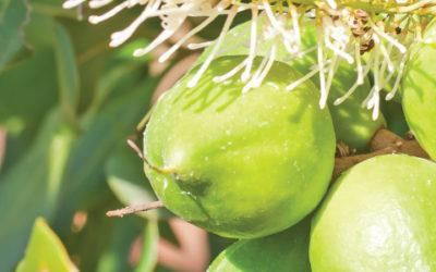 Prepare your Macadamia trees for the cold days ahead