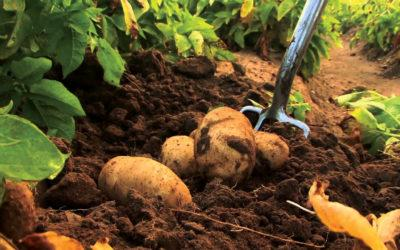 Root health strategy with Eco-T® and AmyProtec 42® on potatoes in South Africa